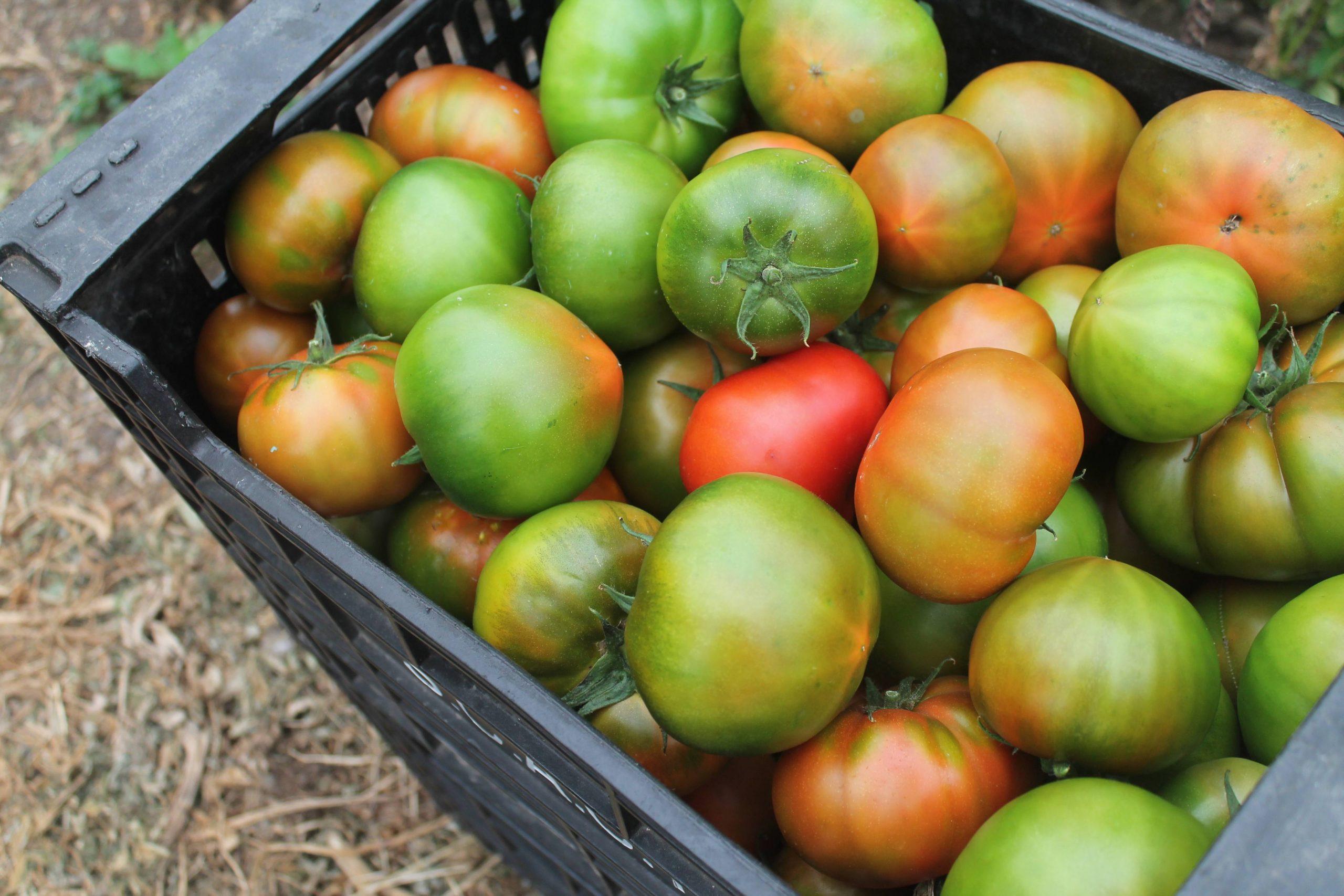Los tomates de Tegueste – Mermelada de tomate